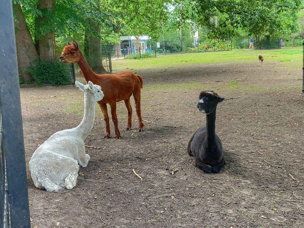 Julianapark - alpaca's
